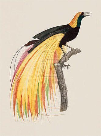 Rsultat de recherche dimages pour oiseau paradis animal